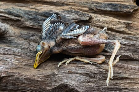 Dead baby birds in nature on wood. A bird who is fallen out of his nest.