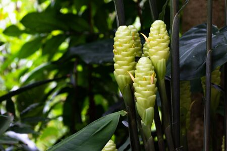 White galangal flowers, blurred background, green leaves