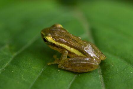 Green paddy frog, Red-eared frog, Leaf frog, Common green frog;Hylarana erythraea,  (Ranidae) on green leaf. 写真素材