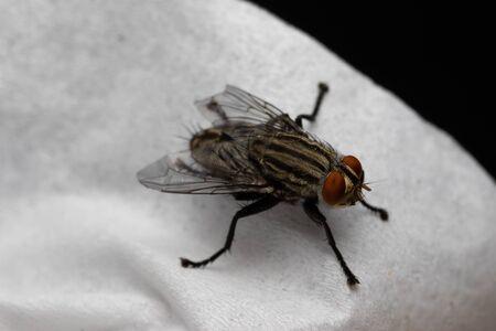 Mucha domowa lub mucha owadów na białej bibułce.