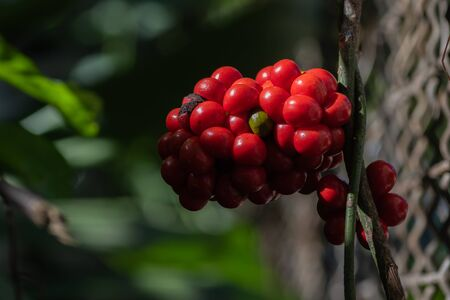 Tiliacora triandra fruits is one of the most rarest fruits in the wild. People use for cooking and ayurveda.