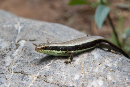 Skink in the garden in Thailand. Spotted forest skink or maculated forest skink, South Asia and Southeast Asia