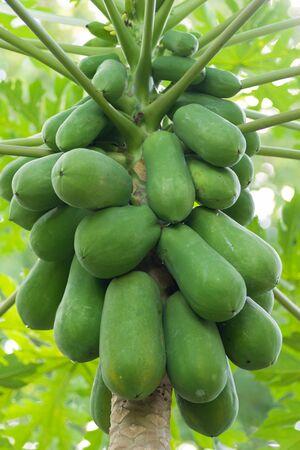 The papaya tree with fruits.