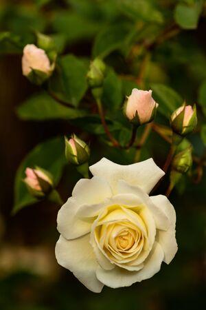 Beautiful bush of yellow roses in a spring garden. Rose garden.