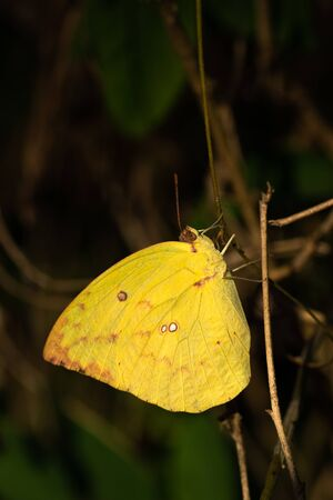 yellow butterfly in forest. colorful of butterfly on tree in garden.Masses of butterfly on blurred background.Season of butterfly in national park of Thailand. 写真素材