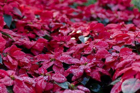 water drop on Christmas star, poinsettia ,Christmas Rose (Euphorbia pulcherrima) in garden