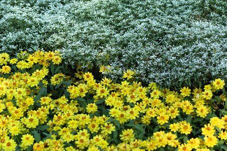 yellow zinnia flowers. Beautiful zinnia flowers on green leaf background  in the summer garden. 写真素材