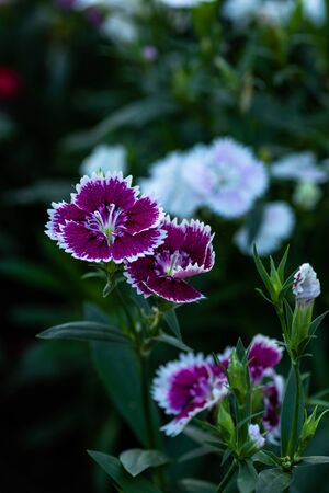 Dianthus flower (Dianthus chinensis L.) ,Caryophyllaceae blooming in garden