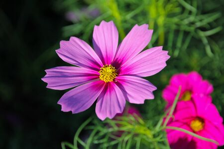 Pink flowers cosmos bloom beautifully to the morning light.