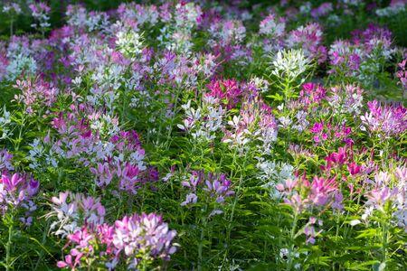 Cleome flower (spider- flower) in the garden background. 写真素材