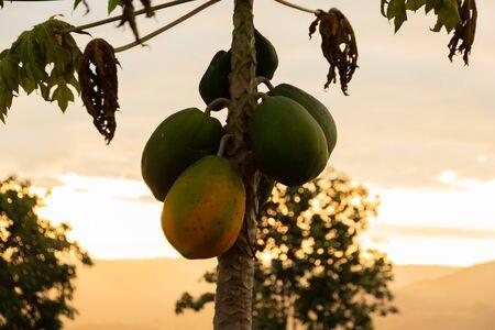 Nature fresh yellow papaya on tree with fruits.Pawpaw tree with ripening fruit 写真素材