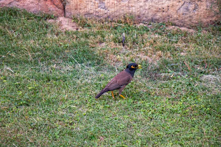 Indian Mynah looking for the food on the grass Stockfoto