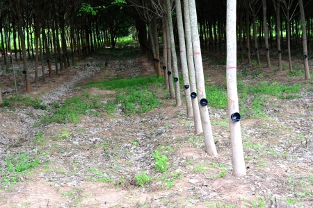 View of a rubber plantation Thailand  photo