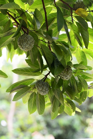 custard apple: Custard apple in Custard apple tree Stock Photo