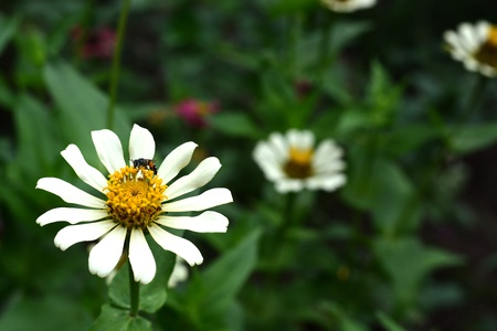 bee on the white flower  photo