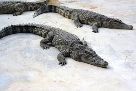 crocodile in farm Stock Photo - 21762079