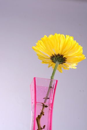 gelbe Chrysanthemen in rosa Vase photo