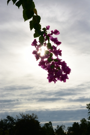 Bougainvillea flowers and sun in the morning photo