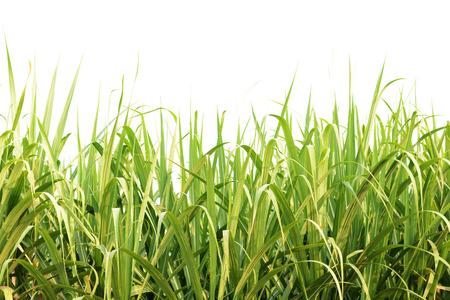 sugarcane: Green sugarcane leaves isolated