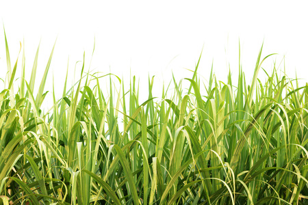 Green sugarcane leaves isolated
