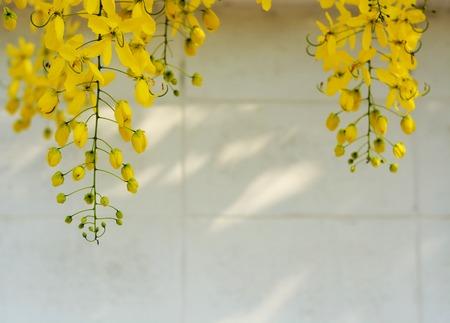 drumstick tree: yellow flower, Golden Shower Tree Stock Photo