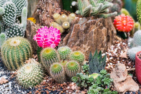 The beauty Garden cactus photo