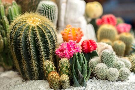 The beauty Garden cactus photo