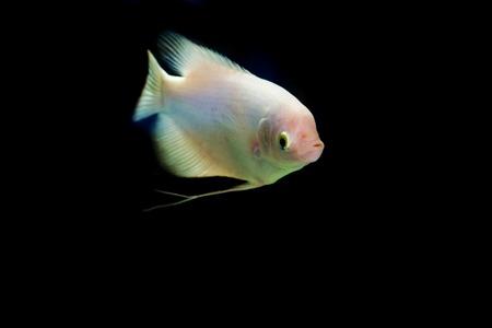 aquaria: Giant gourami fish