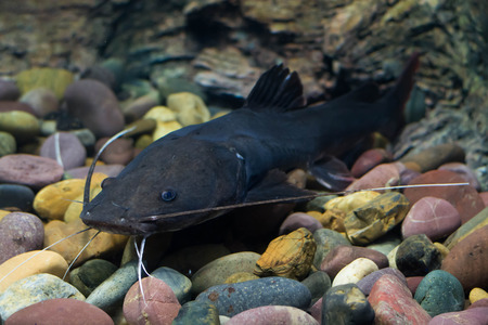 asian redtail catfish:  Asian redtail catfish fish