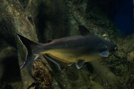 pangasius: Snail eater pangasius fish