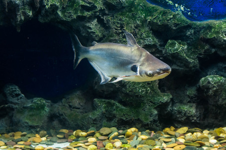 southeastern: Tropical fish Black ear catfish, lives in rivers of Southeastern Asia