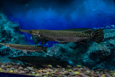 Alligator Gar photo