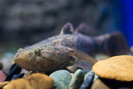 Sleepy goby, Marbled sleeper fish