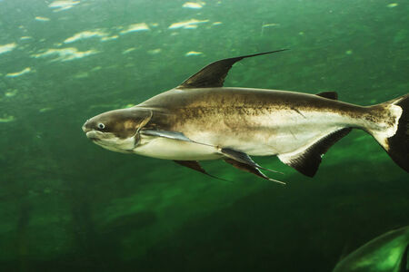 barracuda: Mekong giant catfish