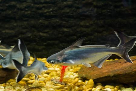 pangasius: Vietnamese pangasius, Basa fish Stock Photo