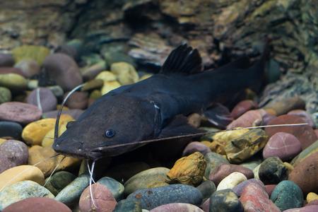 redtail:  Asian redtail catfish fish
