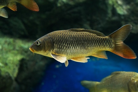 The Common Carp ( Cyprinus Carpio )