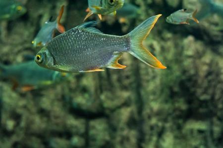 cyprinidae: Goldfish Cyprinidae