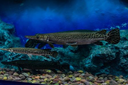 Alligator Gar photo