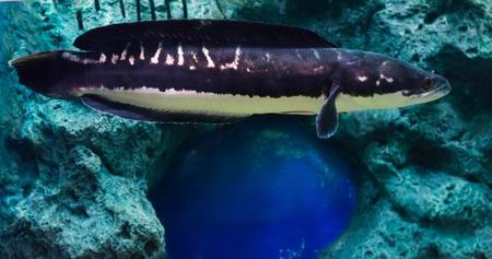 snakehead: fish Great snakehead.