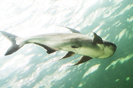 Mekong giant catfish photo