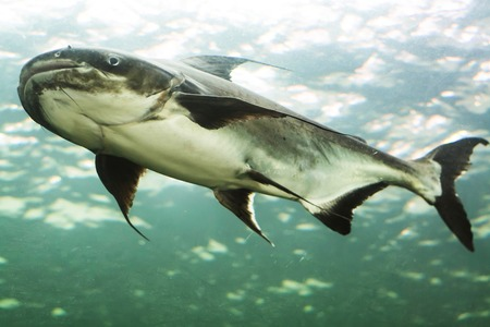 freshwater barracuda: Mekong giant catfish