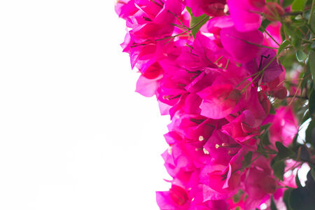 bougainvilleas: Pink blooming bougainvilleas