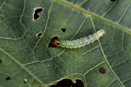 Caterpillar on a green leaf.
