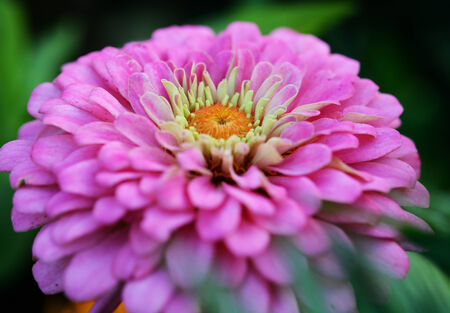 gebera: close-up beauty gebera flower