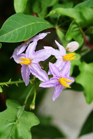 pea eggplant flower in the garden photo