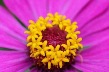 gebera: pollen of gebera flower