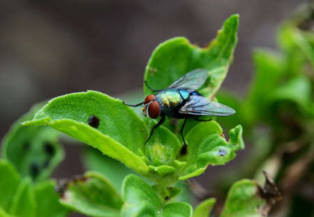nude outdoors: house fly(flies) close up sitting on green leaf Stock Photo