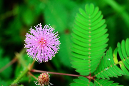 androecium: Beautiful blooming pink flower of sensitive plant in forest