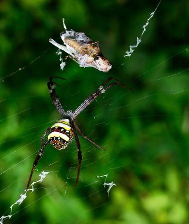 argiope: Beautiful European white - yellow spider with green background ( Argiope bruennichi)